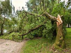 oak tree snapped by winds during a storm