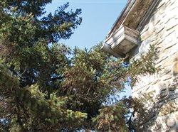 a pine tree and the roof of a house. A point of entry for pests