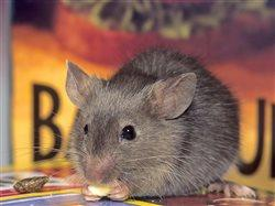 Gray mouse eating tidbits of food in kitchen pantry