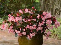 Begonias in a pot