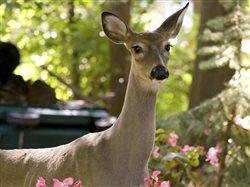 Deer in wooded backyard.