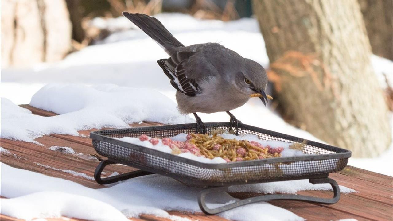 Bird eating a meal worm in winter