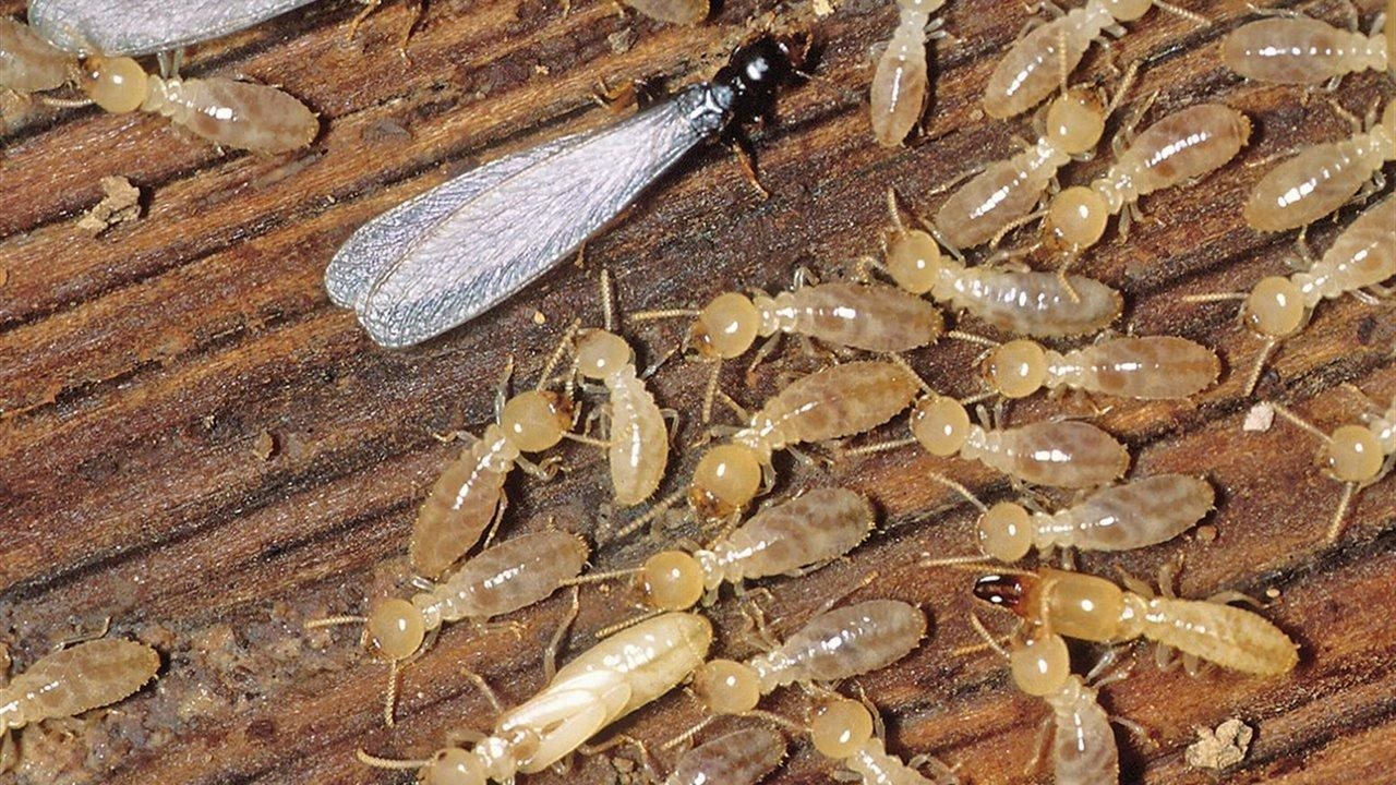 termites on a wood board