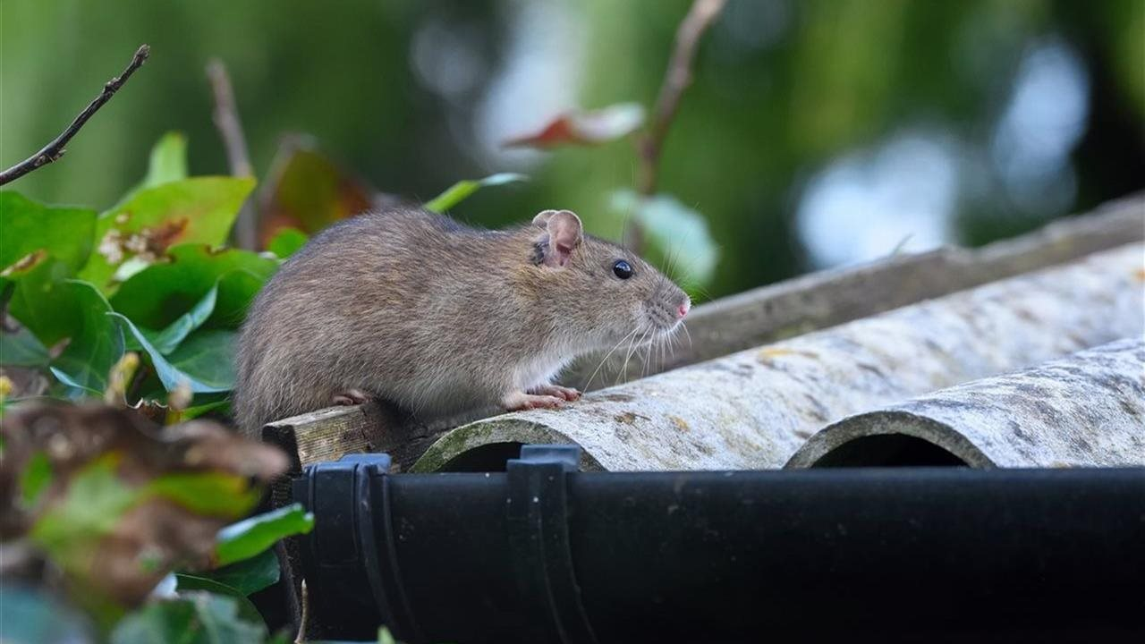 a rodent on top of a roof