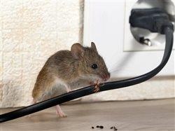 mouse chewing on electricial