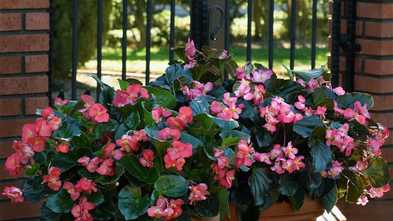 Begonias in 2 pots
