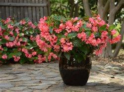 Begonia in pot