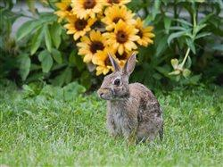 Rabbit on grass with sunflowers in the back ground