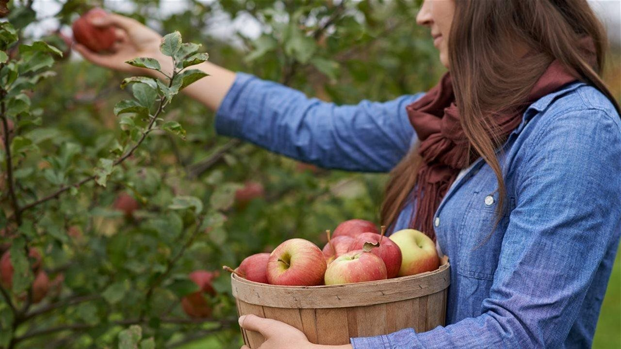woman picking apples and placing them in a basket