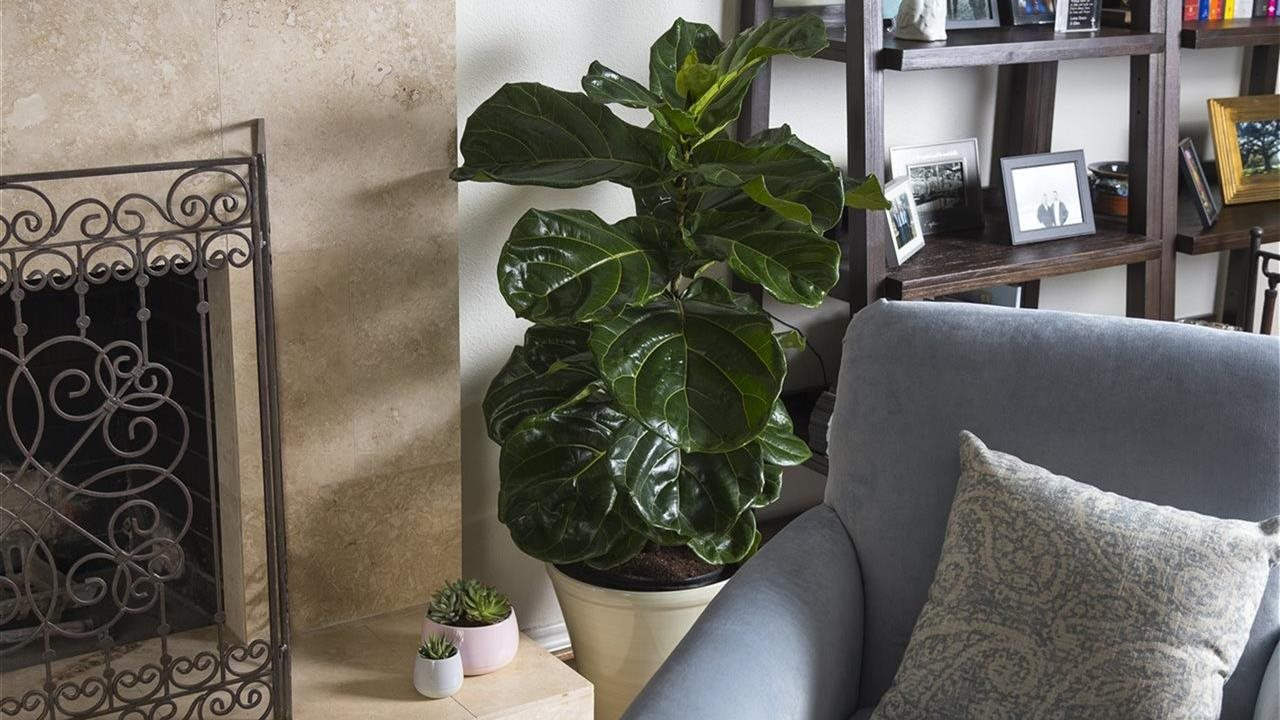 Large green leafy houseplant next to fireplace in beautiful living room