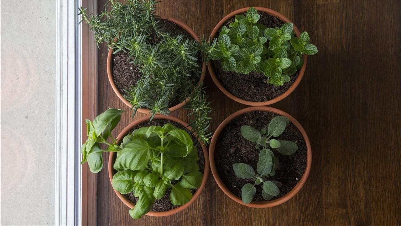 Top view of four pots containing fresh green herbs growing on window sill